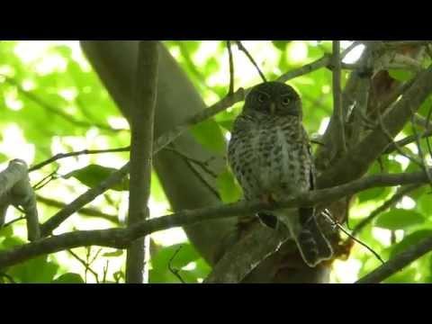 Cuban Pygmy Owl - Guanahacabibes National Park, Cuba