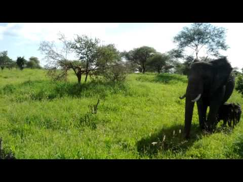 Snippet - Elephants in Tarangire, Tanzania