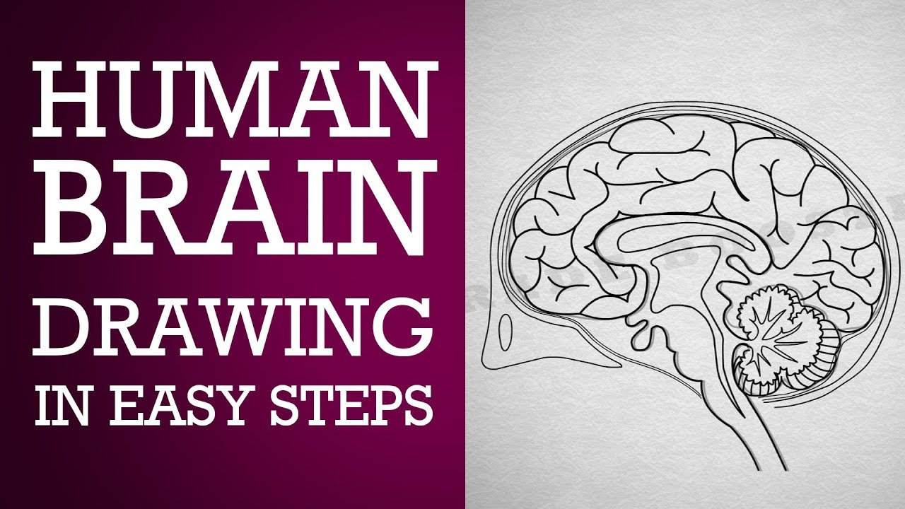 How to draw human brain in easy steps :Control and coordination ...