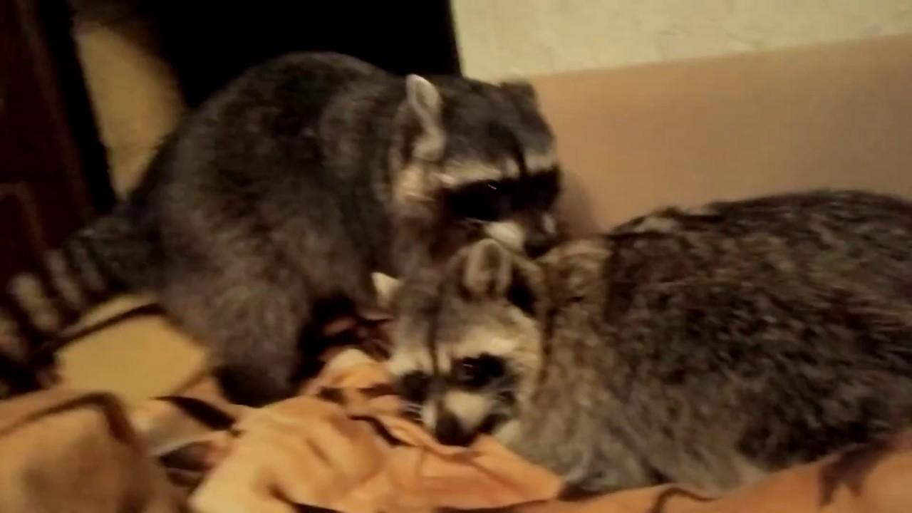 Cute Animals| Raccons playing| VIDEO