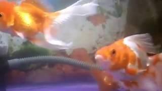 Ikan hias air tawar , ikan mas koki 3 sekawan beda jenis....., rancak bana...