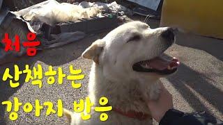 평생 묶여 있던 강아지가 처음으로 산책할 때 반응/ The first walk of a dog that was bound for a lifetime. #진돗개#진돌이#jindol