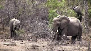 Djuma: Breeding herd of Elephants - 13:00 - 10/14/18 thumbnail