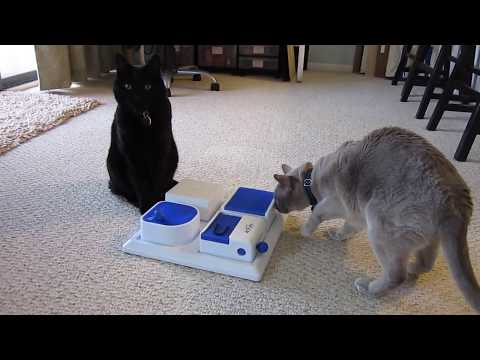 Burmese and DSH cats forage for treats