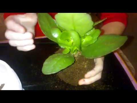 Пересадка  каланхоэ после цветения