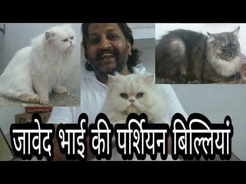 Persian Cats Of Javed Bhai