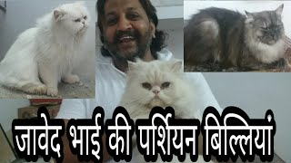 Persian Cats Of Javed Bhai