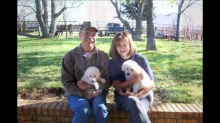 Great Pyrenees / Anatolian Shepherd Puppies for Sale - Livestock Guardian Dogs October 2010