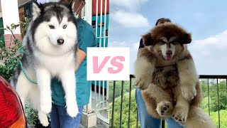 Siberian Husky VS Alaskan Malamute  Here is what you should know!