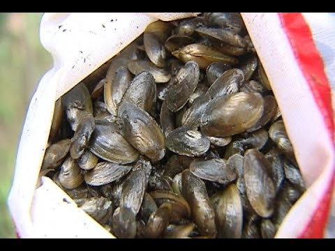 Partnership for the Delaware Estuary teams with Suez to re-grow mussel population