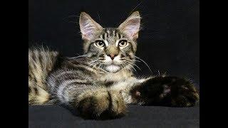Как постричь котенку когти?