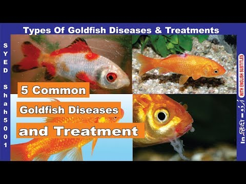 Goldfish 5 Common Disease & Treatement Of Goldfish How To Cure Sick Goldfish