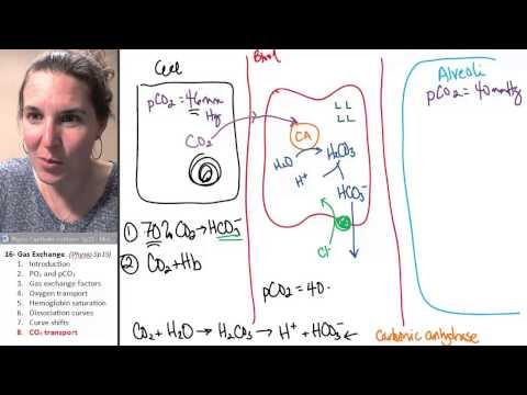 Gas exchange 8- Carbon dioxide transport