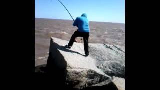 PESCA DE CORVINA NEGRA, ESCOLLERA SARANDÍ MONTEVIDEO URUGUAY(Corvina de 8.5 kg pescada en la escollera sarandí. Gracias a Daniel por la ayuda y ala ex pescador devenido a camarografo Raul Burgos(mi viejo) jaja., 2015-11-24T21:52:43.000Z)