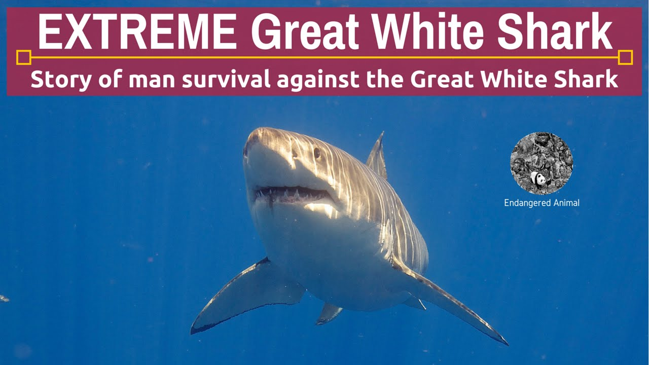 an introduction to the nature of great white sharks Facts about great white sharks, tiger introduction to sharks sharks are far more than this and play a vital role in the oceans and nature evolution of sharks.