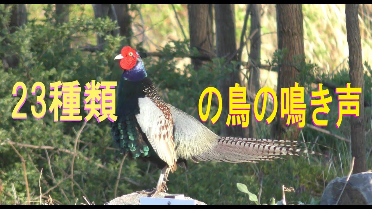 日本の小鳥23種類の鳴き声 4K 😊