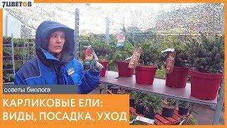 Карликовые ели - посадка и уход | Советы биолога 7ЦВЕТОВ