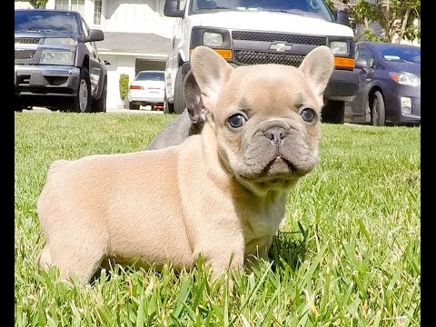 Exotic Frenchie Colors (Blue & Blue-Fawn) Male and Female Puppies available