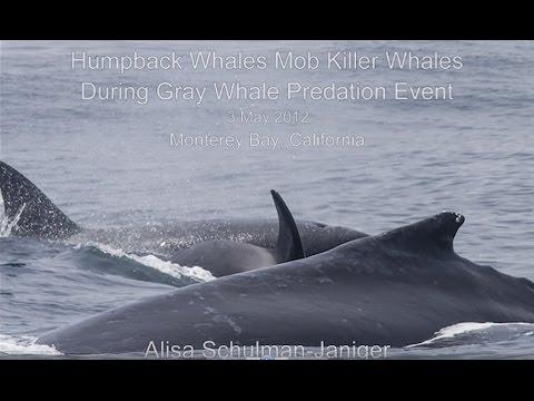 Killer Whales Prey On Gray Whale Calf, Humpbacks Interfere; Monterey Bay CA