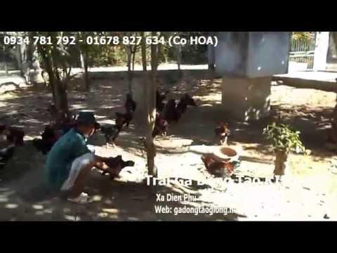 Gà Đông Tảo Thịt - Trại Gà Đông Tảo KIỀU HOA