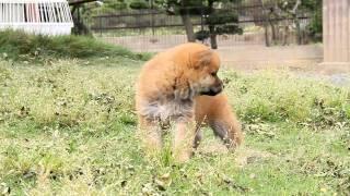 柴犬専門ブリーダー・犬舎の子犬販売 柴犬.net ID:1126 http://www.shib...