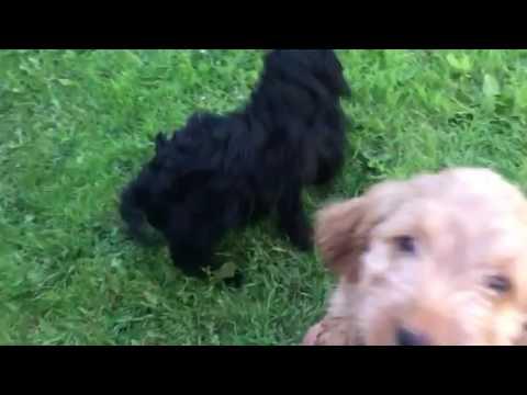 Felindre Cockapoo pups in the garden