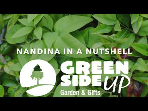 Nandina In A Nutshell
