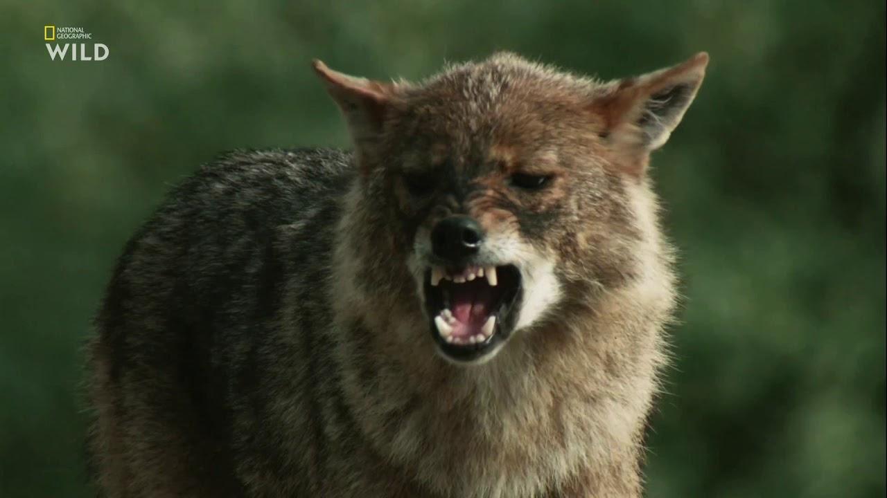 Nat Geo Wild: Дикие охотники 3 серия - Волки и шакалы