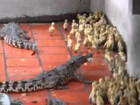 Crocodile's eats live baby ducks