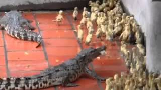 Crocodile's eats live baby ducks