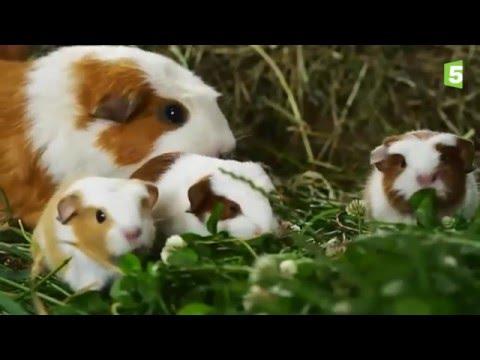 Naissance De Bébés Cochons D'Inde En Direct - ZAPPING SAUVAGE