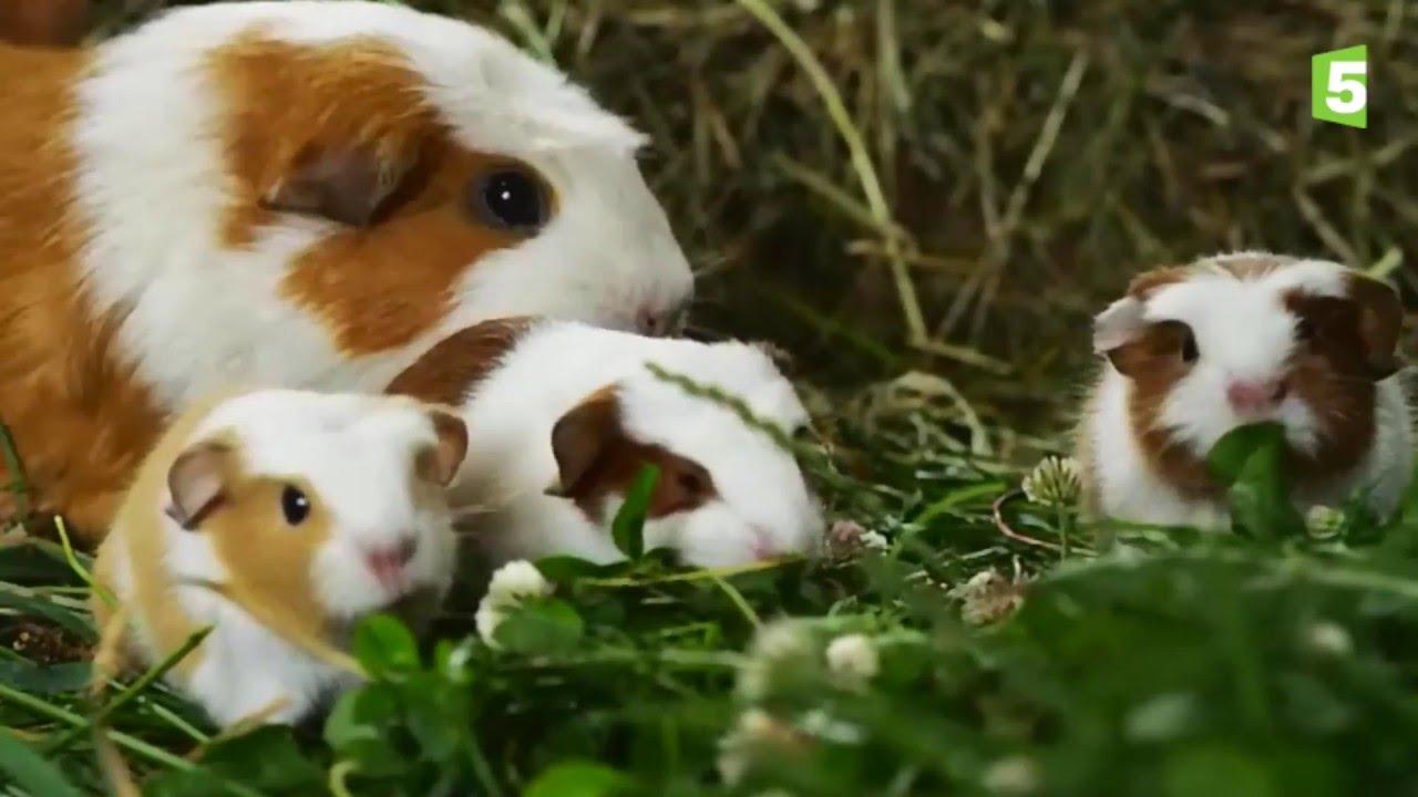 Naissance de b b s cochons d 39 inde en direct zapping sauvage youtube - Image de cochon mignon ...