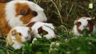Naissance de bébés cochons d