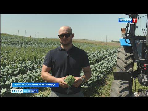 В Старооскольком округе семья фермеров взялась за выращивание брокколи и цветной капусты