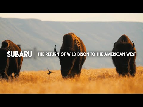 The Return of Wild Bison to the American West