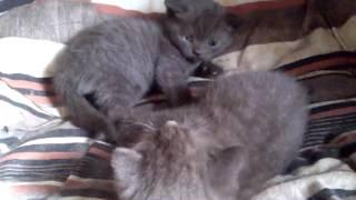 котята британские шоколадные