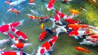 Download Video 9 Arti Mimpi Melihat Ikan Di Kolam Menurut Primbon Jawa Terlengkap MP3 3GP MP4