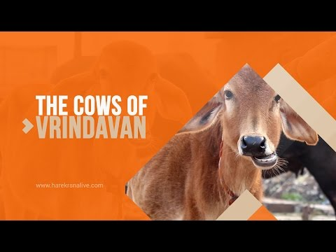 The cows of Vrindavan