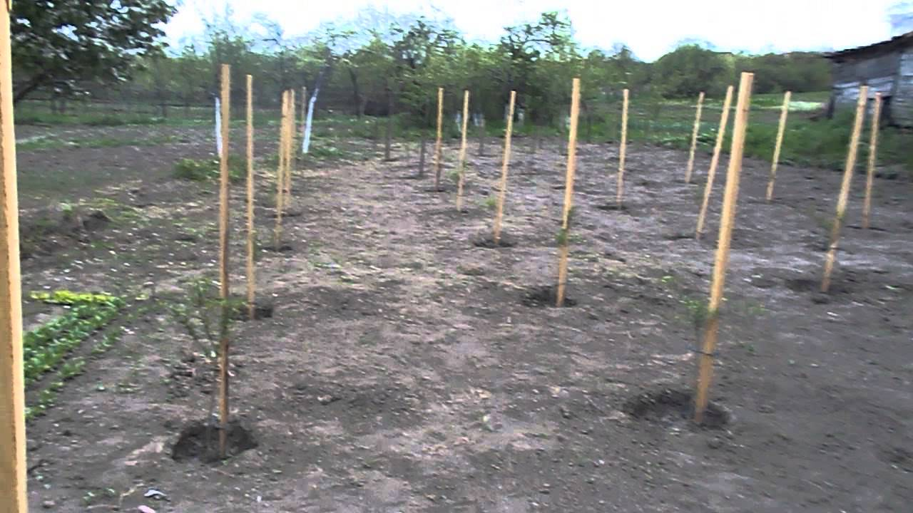 Igiena arbustilor de goji / hygiene goji bush - YouTube