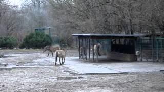 Przewalski-Pferde im Tierpark Berlin