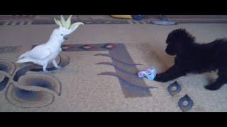 Знакомство щенок и попугай - день 2