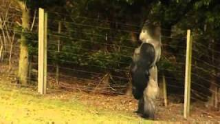 Video Animal Clip Of The Week Gorilla Learns To Swagger Walk Like A Man!.wmv