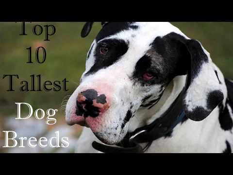 Top 10 Tallest Dog Breeds