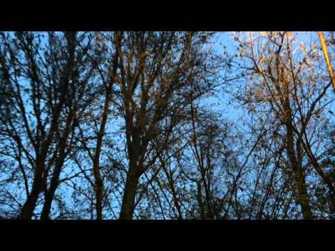 Parakeets on Mitcham Common