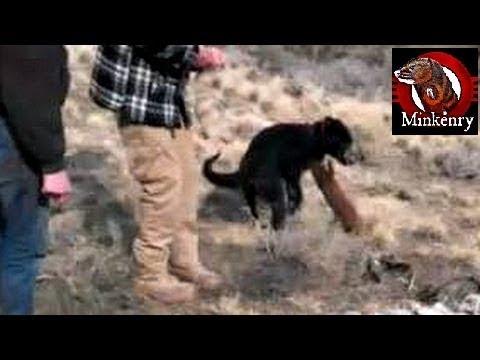 Washushe the Mink Attacks Dog Durring First Hunt