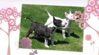 Bull Terrier Temperament  Bull Terrier  Training Tips