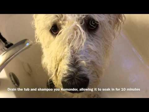 Komondor Pup Bath