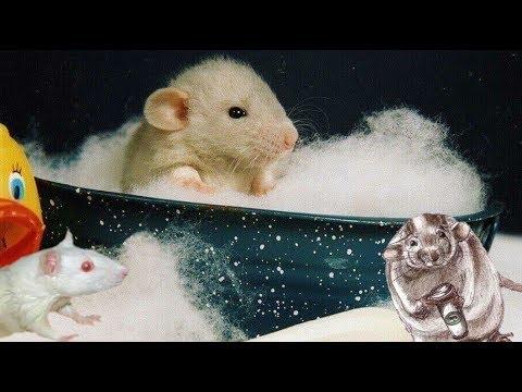 Как почистить крысе хвост (декоративные крысы)