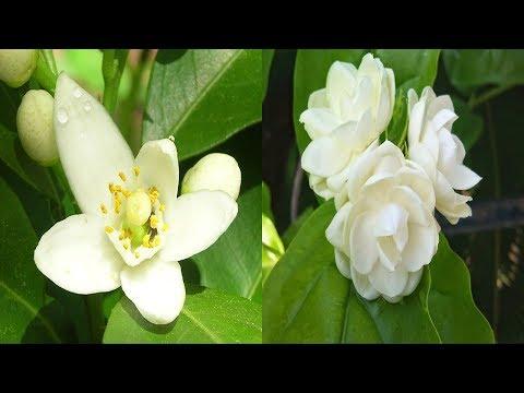 health-benefits-of-jasmine-essential-oil