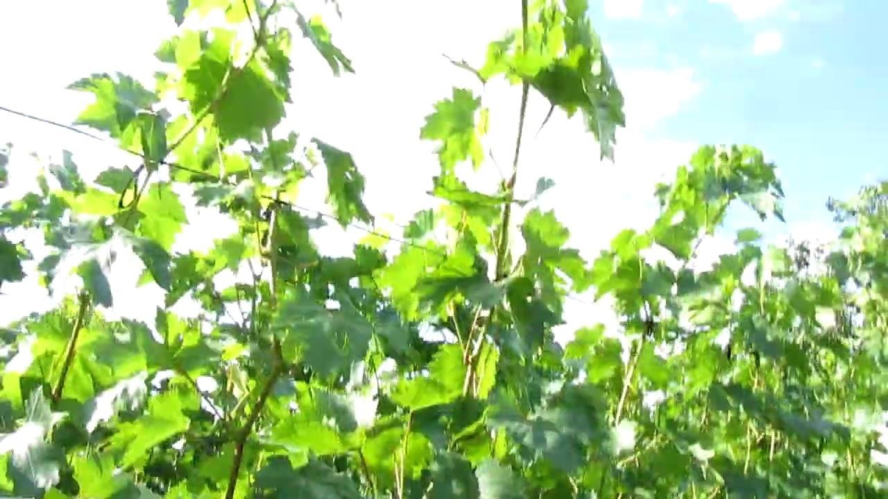 Обзор виноградника на 1 августа
